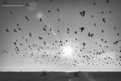 Pigeons at Marina Beach (Saravanan Ekambaram) Tags: blackandwhite birds marina pigeons madras blacknwhite marinabeach chennai