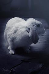 Nro 101 (Photo X Creative) Tags: colour rabbit animal photography nikon photographer conejo proyectofotografico