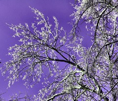 It's all about the color (CCphotoworks) Tags: trees color nature outdoors purple processing