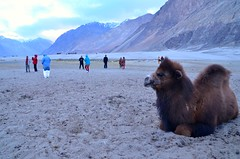Bactrian Camels at Hunder in Nubra Valley (pallab seth) Tags: india mountain tourism evening asia tour dusk juvenile himalayas sanddunes ladakh nubravalley hunder joyrides camelsafari bactriancamel jammuandkashmir diskit unknownplace camelusbactrianus colddesert