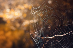 Morning dew | Explored on 2016.04.17 | Thank you all! (Psztor Andrs) Tags: morning light sun macro tree nature water forest lens photography star spider drops nikon hungary bokeh web m42 manual rise dslr russian lz detailed andras industar61 tetragnathaextensa pasztor d5100
