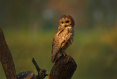 Mottled wood owl (Zahoor-Salmi) Tags: camera pakistan 2 macro nature birds animals canon lens photo tv google flickr natural action mark wildlife watch bbc 7d punjab discovery wwf salmi walpapers chanals beutty bhalwal zahoorsalmi