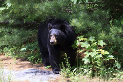 Hot bear (Seventh day photography.ca) Tags: bear summer ontario canada animal female mammal wildlife wildanimal predator sow blackbear