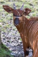 Bongo 2016-04-01-0142 (bzd1) Tags: nature animal mammal bongo natuur antelope bovidae antilope chordata artiodactyla tragelaphuseurycerus zoogdieren tragelaphus evenhoevigen holhoornigen chorodata koedoesenverwanten