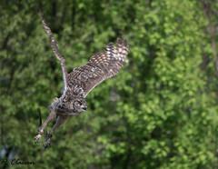 Afrikaanse Oehoe (pclaesen) Tags: netherlands animal animals photography zoo owl beeksebergen dierentuin uil nikond3200 hilvarenbeek smallbird buboafricanus afrikaanseoehoe nikon55300mm