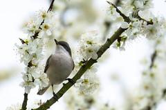 Grauschnpper im Pflaumenbaum - Spotted Flycatcher in a plum tree (ralfkai41) Tags: trees birds tiere outdoor blossoms vgel bume plumtree blten spottedflycatcher grauschnpper pflaumenbaum pfanzennatur