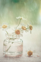 It's raining (Ro Cafe) Tags: stilllife flower soft pastels textured backlighting camomile nikond600 nikkormicro105f28