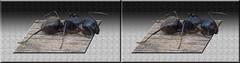 Camponotus pennsylvanicus - (Eastern) Black Carpenter Ant 1 - Parallel 3D (DarkOnus) Tags: black macro closeup insect lumix stereogram 3d pennsylvania ant panasonic stereo parallel eastern stereography buckscounty carpenter oof oob camponotus ttw pennsylvanicus dmcfz35 darkonus