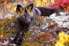Incredible photographs of the rare silver fox (PhotographyPLUS) Tags: pictures graphics photos illustrations images stockphotos articles footage stockimage freephoto stockphotograph