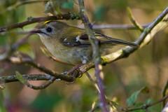 Goldcrest (warren hanratty) Tags: nature wildlife gloucestershire goldcrest cotswoldwaterpark regulusregulus warrenhanrattyphotography