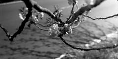 (objection) (Dinasty_Oomae) Tags: blackandwhite bw monochrome cherry blackwhite spring  cherryblossom ibaraki exakta     tukuba ihagee       vx
