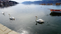 DSC00810 (omirou56) Tags: lake reflection water birds swan greece 169           sonydscwx500
