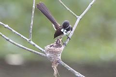 Fantail Feeding Wifi Jpg (teckhengwang) Tags: life wild bird nature garden pond nest wildlife sony best wifi jpg pied jog direct pasir a77 ris fantail pasirrispark piedfantail sal70400g sonya77mkii a77mkii a77m2 a77mk2 a77mii