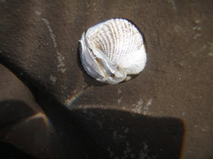 Clam? (rocksandstones) Tags: beach moss tide pools