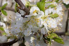 20160416-IMG_4460.jpg (btysoe) Tags: flower garden blossom plumtree