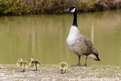 Canada Goose and chicks (Colin Hollywood Photography) Tags: new uk england canada bird water forest geese pond young hampshire goose chick waterfowl plummage wader