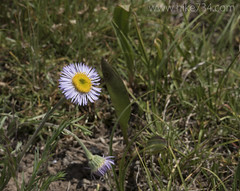 """Fleabane • <a style=""""font-size:0.8em;"""" href=""""http://www.flickr.com/photos/63501323@N07/26609795741/"""" target=""""_blank"""">View on Flickr</a>"""