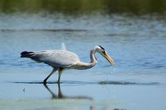 hunting grey heron (kalakeli) Tags: birds april ardeacinerea vgel herons jagd greyheron 2016 rieselfelder reiher graureiher rieselfeldermnster huntingheron