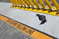 Pigeon Don't Care (Pedestrian Photographer) Tags: bird yellow train 50mm gold la los eyes metro angeles pigeon dove platform rules line april behind 50 stay ribbet regulations 2016 flauting dsc0947 dsc0947b
