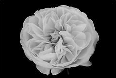 Rosa blanca. (De carrusel) Tags: barcelona espaa flores catalunya es carrusel 2016