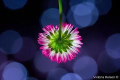 (Victoria Helson photography) Tags: light flower macro nature fleur colors closeup canon plante studio spring dof bokeh couleurs daisy printemps canon7d ef100mmf28lmacroisusm victoriahelson paquerettte