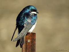 Tree Swallow IMG_5240 (Jennz World) Tags: ontario canada tree explore swallow glenmorris jennifermlivick