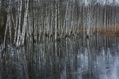 living in overflow (Mindaugas Buivydas) Tags: blue trees winter abstract color reflection tree forest december mood moody calm swamp birch bog lithuania lietuva tyrmikas tyraiforest