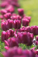 IMG_7864 (Five eyes) Tags: flowers flower holland color nature beauty garden spring dof tulips beds michigan fresh neighborhood beginning tuliptime promise lanes 2016