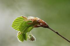 Beukenblad komt uit knop (Fagus sylvatica) (Jaap Vette) Tags: flowers plants plant flower holland tree nature netherlands dutch leaf flora nederland natuur blad beech planten bloemen fagus bloem knop sylvatica beuk velp beukenblad
