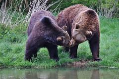 Love is in the Air (Hugo von Schreck) Tags: bear animal outdoor tier br fantasticnature onlythebestofnature tamronsp150600mmf563divcusda011 canoneos5dsr hugovonschreck