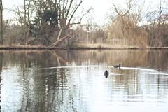 Duck life (sonia.sanre) Tags: naturaleza lake nature water netherlands landscape lago duck utrecht ducks paisaje patos