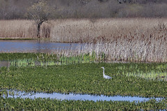 Heron in the marshland (maggie.henfield) Tags: heron marshes leightonmoss