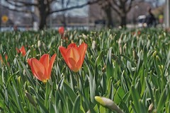 Almost there. Ready to unfurl the petals. (beyondhue) Tags: street red people sun lake ontario canada green start spring bokeh ottawa petal tulip bud dows tulipfest 2016 beyondhue