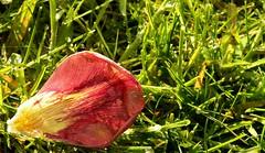 Abgeblhter Tulpenstrau (13) (Chironius) Tags: flower rot fleur blossom flor  fiore blte tulipa tulpen blten liliaceae  liliales  liliengewchse lilienartige lilioideae