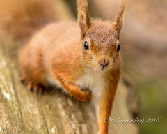 curious and close (pixellesley) Tags: portrait cute squirrel eyecontact looking curious redsquirrel