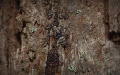 Menemerus +/- (dustaway) Tags: arthropoda arachnida araneomorphae araneae salticidae menemerus australianspiders tullera spideronbark northernrivers nsw australia nature tullerapark barkjumpingspider spinne