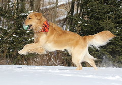 And I'm Off (Diane Marshman) Tags: old winter dog brown snow playing motion nature animal ball season fur golden movement action pennsylvania group young tan large scene retriever dude kong pa months bandana breed northeast nineteen thedude facebook the httpswwwfacebookcomgroupsthedudesdaily