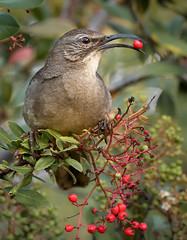 California Thrasher eating a Toyon berry (alicecahill) Tags: california morning wild usa bird nature animal eating wildlife morrobay centralcoast thrasher sanluisobispocounty californiathrasher toyon alicecahill