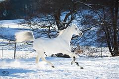 Said_20164556 (OliverSeitz) Tags: said pferd pamir schimmel hengst arabianhorses sadana i vollblutaraber hauptundlandgesttmarbach arabischepferde oliverseitz oliseitzde