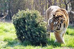 ShereKhan (International Exotic Animal Sanctuary) Tags: christmas white tree animal african tiger lion international exotic bengal sanctuary serval caracal capybara enrichment ieas