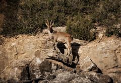 Cabra monts | Capra pyrenaica (annannavarro) Tags: wild naturaleza nature animals fauna spain mediterranean animales wilderness cabra ibex ibrica