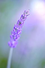 Simple Beauty (Simon Downham) Tags: light flower macro beauty field yard garden back backyard focus shine purple herbs bokeh smooth depthoffield single mauve 28 shallow simple depth herb creamy buttery lavandar laveder dsc3367