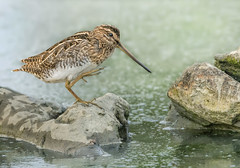 Che noia 'sta pioggia... (marypink) Tags: bird nature focus bokeh pov avifauna snipe gallinagogallinago scolopacidae beccaccino nikkor8004000mmf4556 nikond7200