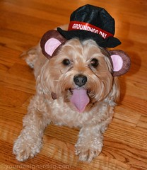 What Did the Groundhog Say Yesterday? (yourdesignerdog) Tags: winter pets cute dogs yorkie wednesday photography blog spring holidays all designer wordpress sadie poo posts wordless yorkipoo ifttt