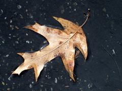 Leaf In A Puddle. (dccradio) Tags: puddle outdoors leaf nc pavement northcarolina fallenleaf mudpuddle blacktop lumberton rainpuddle robesoncounty walnutmanorapartmentsoutside