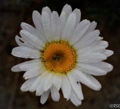 Oxeye Daisy (RSK.2016) Tags: travel flowers wild plants white plant flower nature beautiful yellow photography dewdrops petals outdoor places explore experience daisy srilanka eliya hillstation oxeye nuwara nikond3200 oxeyedaisy nuwaraeliya whitepetals yellowcenter