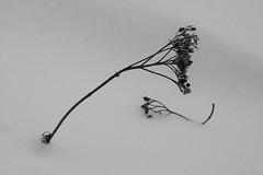(Mikko Luntiala) Tags: winter blackandwhite bw white snow plant cold suomi finland dead death december snowy creativecommons elegant lumi talvi 2012 kasvi elegance coldness d90 joulukuu kylm luminen valkoinen kuolema kuollut talvinen hanki nikond90 hanget kylmyys afsdxnikkor18105mmf3556gedvr elegantti lumihanki mikkoluntiala eleganssi lumihanget