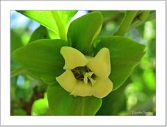 Flor del Caqui (Lourdes S.C.) Tags: naturaleza flower flor rbolesfrutales