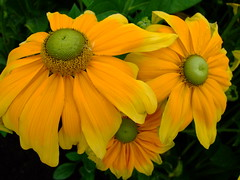 Rudbeckia hirta 'prairie sun' (yewchan) Tags: flowers flower nature colors beautiful beauty closeup garden flora colours gardening vibrant blossoms blooms lovely rudbeckia rudbeckiahirta greeneyedrudbeckia
