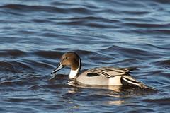 Pintail (Anas acuta) (keith.gallie) Tags: lake nature beautiful outdoors duck wildlife waterbird elegant anas wetland pintail martinmere acuta